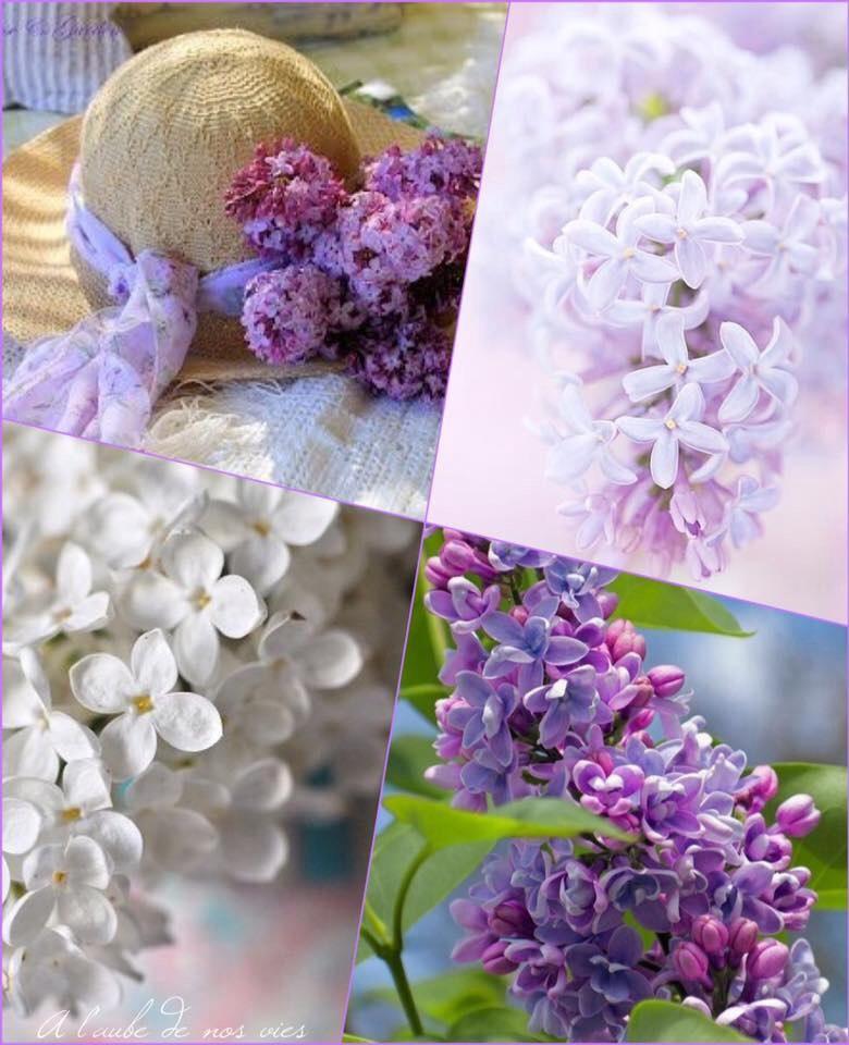 La couleur des mots quand refleuriront les lilas blancs - Quand tailler les lilas ...